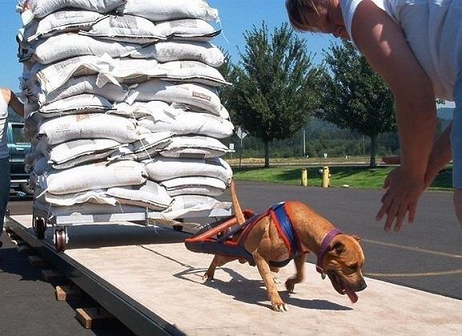 Canine steroid effects